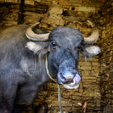 Buffalo licking its own nose Royalty Free Stock Images
