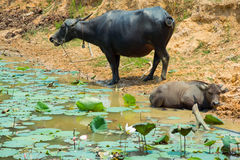 Buffalo is Life Machine of Farmer at canal. Stock Images