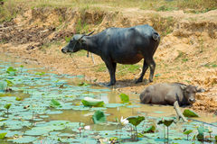 Buffalo is Life Machine of Farmer at canal. Royalty Free Stock Photography
