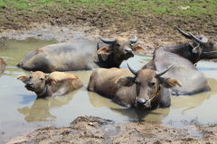 Buffalo lives in the water. Buffalo lives in the water during the daytime Royalty Free Stock Photos