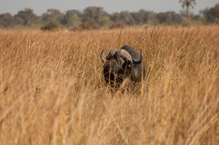 Buffalo in Long Dry Grass Royalty Free Stock Images