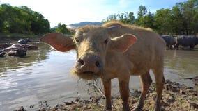 Buffalo looking directly to camera. 4K Royalty Free Stock Image
