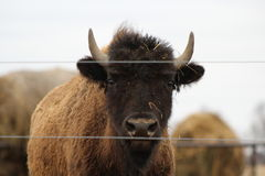 Buffalo. A buffalo looking at me Royalty Free Stock Image