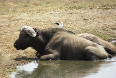 A buffalo lying down. In a small pool Stock Photos