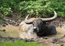 Buffalo lying in pond Stock Photography