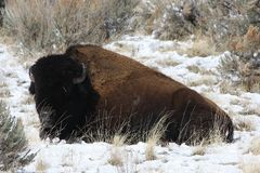 Buffalo lying in snow Royalty Free Stock Photos
