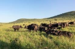 Buffalo in Maasai Mara, Kenya. This photo is taken in Maasai Mara National Reserve, Kenya. The Maasai Mara National Reserve also known as Maasai Mara and by the Royalty Free Stock Images