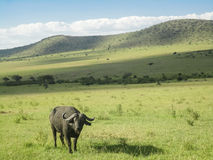 Buffalo. From Maasai Mara National Reserve in Kenya stock photos
