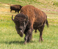 American Buffalo bison bull portrait Royalty Free Stock Image