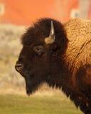Buffalo Male Profile. A profile of a large American Buffalo bull Royalty Free Stock Image