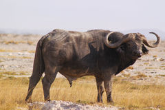 Buffalo Male - Safari Kenya. A great male of african buffalo, Syncerus caffer, in Amoseli, Kenya Royalty Free Stock Photo