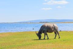 Buffalo mangeant l'herbe Photos libres de droits