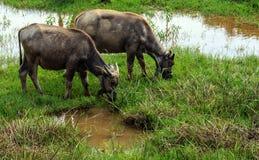 Buffalo mangeant l'herbe dans le domaine image libre de droits