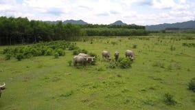 Buffalo mangent l'herbe et les feuilles fraîches sur la vue aérienne de pâturage banque de vidéos