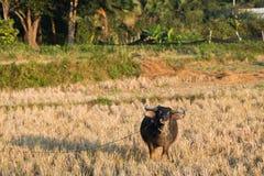 Buffalo mangent la chaume de riz images libres de droits