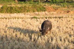 Buffalo mangent la chaume de riz Photo stock