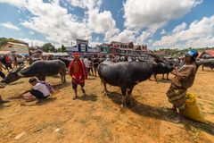 Buffalo market in Rantepao. Rantepao, Indonesia - September 7, 2014: buffalo for sell in the famous outdoor livestock market, held every 6 days in Rantepao, Tana Stock Images