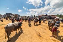 Buffalo market in Rantepao Royalty Free Stock Images