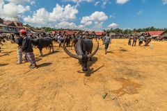 Buffalo market in Rantepao. Rantepao, Indonesia - September 7, 2014: buffalo for sell in the famous outdoor livestock market, held every 6 days in Rantepao, Tana Stock Photography