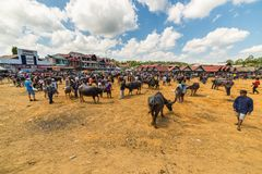 Buffalo market in Rantepao. Rantepao, Indonesia - September 7, 2014: buffalo for sell in the famous outdoor livestock market, held every 6 days in Rantepao, Tana Stock Image