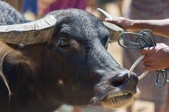Buffalo market in Rantepao Stock Photo