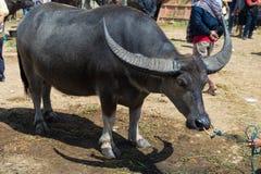 Buffalo market in Rantepao Stock Images