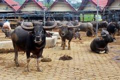 Buffalo Market, Tanah Toraja, Indonesia Stock Photos