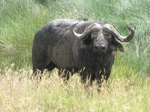 Buffalo maschio Fotografie Stock Libere da Diritti