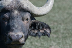 Buffalo masculin Images libres de droits