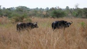 Buffalo masculin et femelle dans l'Africain Savannah In Bushes banque de vidéos
