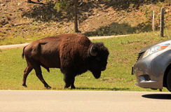 Buffalo meets car along the needles highway Stock Photo