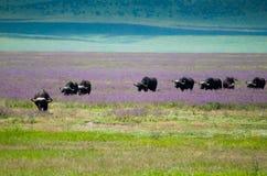 Buffalo migration Ngorongoro crater, Tanzania Stock Images
