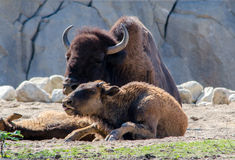 Buffalo mom and baby Stock Images