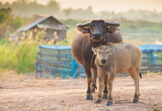 Buffalo mom and baby Stock Photo