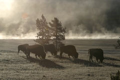 Buffalo Morning Royalty Free Stock Image