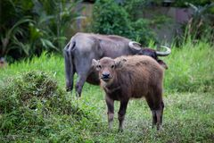 Buffalo and buffalo mothers eat grass in rural farm in Thailand stock photo