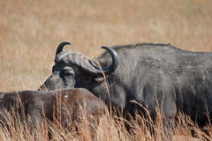 BUFFALO MOVING WITH HERD. Buffalo herd filing through winter landscape stock image