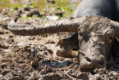 Buffalo in the mud Royalty Free Stock Photos