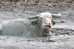 Buffalo in mud1 Fotografia Stock