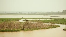 Buffalo, mud bath, bubalus bubalis, buffalo calf, field stock video footage