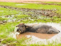 Buffalo in mud bath. Time of Happiness. Royalty Free Stock Photography
