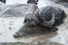 Buffalo in mud Royalty Free Stock Photo