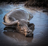 Buffalo in mud Stock Image