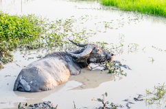 Buffalo in the mud at the farm Stock Images