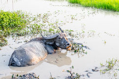 Buffalo in the mud at the farm Royalty Free Stock Image