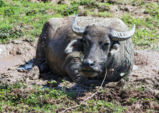 Buffalo in the mud Royalty Free Stock Photo