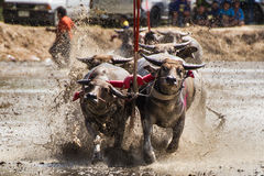 Buffalo Mud Race Royalty Free Stock Photography