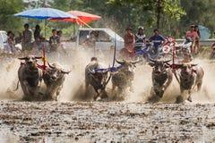 Buffalo Mud Race Stock Photography