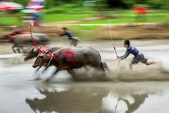 Buffalo Mud Racing Stock Image