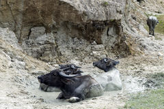 Buffalo in Mud. Stock Photos